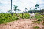 Cattle deforestation